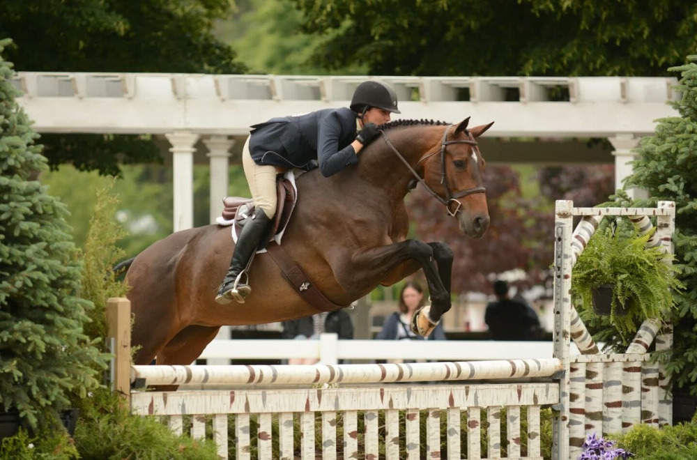 Brown Hanoverian Mare